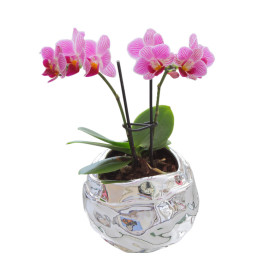 !!!!mini_orhidea_ciklama_srebrena