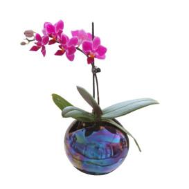 !!!!mini_orhidea_sina_ciklama