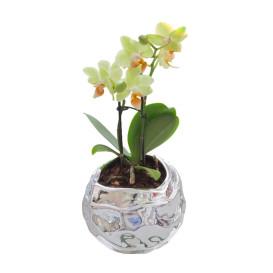 !!!!mini_orhidea_zolta_srebrena