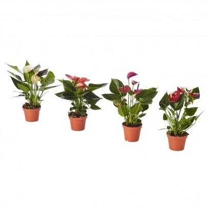 anthurium-potted-plant__0657278_PE709725_S5