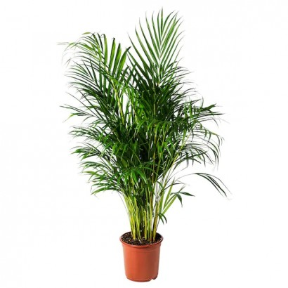 dypsis-lutescens-potted-plant-areca-palm__0653973_PE708202_S5