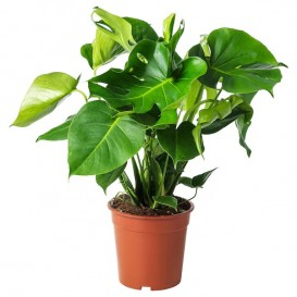 monstera-potted-plant__0653991_PE708220_S5